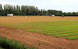 Agriculture: huge field of green lettuce stock image