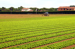 Agriculture huge field of green lettuce royalty free stock photos