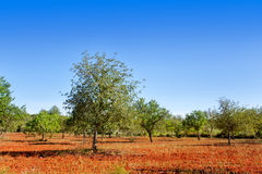 Agriculture in Ibiza island mediterranean trees. Agriculture in Ibiza island mixed fig trees almond and carob tree Stock Photography