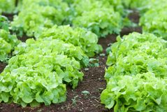 Agriculture Iceberg Lettuce in Thailand Stock Photo