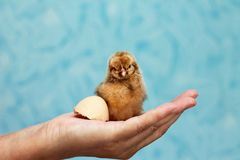 Agriculture. Cute little chicken on woman`s hand Royalty Free Stock Images