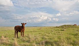 Agriculture and Industry. Young calf on a farmland with a power plant in the distance stock images