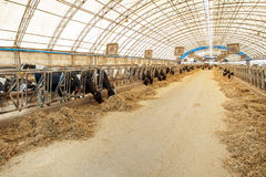 Agriculture industry, farming and animal husbandry concept - herd of cows eating hay in cowshed on dairy farm. Farming and animal husbandry concept herd of cows Royalty Free Stock Image