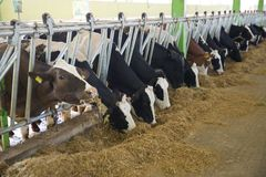 Agriculture industry, farming and animal husbandry concept - herd of cows eating hay in cowshed stock photos