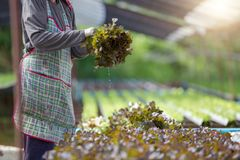 Agriculture industry or farming working in greenhouse harvestin royalty free stock photos