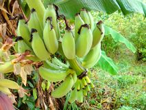Agriculture. Intestine raw bananas, grass and plants in the garden Royalty Free Stock Image