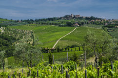 Agriculture Italian vineyards in July Stock Image