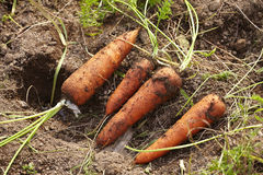 Agriculture in japan. The carrot farm in japan Stock Photography