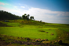 Agriculture landscape with fields of teff at morning in Ethiopia. Agriculture landscape with fields of teff at morning in Amhara, Ethiopia Stock Photography