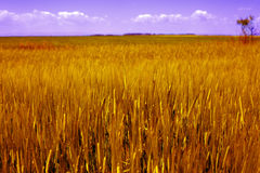 Agriculture landscape - golden grain field Stock Images