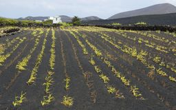 Agriculture on Lanzarote Stock Image
