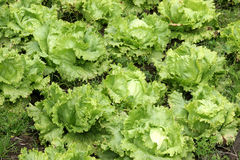 Agriculture-lettuce closeup. Cultivation of letucce Stock Photography