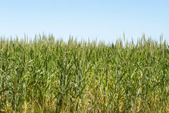 Agriculture. Looking up into a cereal crop with blue sky Stock Photography