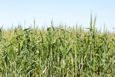 Agriculture. Looking up into a cereal crop with a blue sky Stock Photography