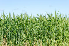 Agriculture. Looking up into a healthy cereal crop with blue sky Stock Images