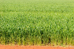 Agriculture. A lush healthy cereal crop growing in a rural paddock on a sunny day Royalty Free Stock Photos