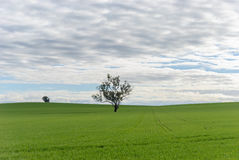 Agriculture. A lush young crop in rural paddock with a tree and cloudy sky Royalty Free Stock Photos