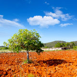 Agriculture méditerranéenne d'Ibiza avec le figuier Photos stock