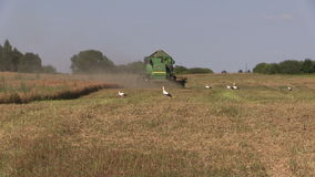 Agriculture machinery harvest ripe dry pease plants. Stork birds stock video footage