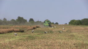 Agriculture machinery harvest ripe dry pease plants Stork birds. SIRVINTOS, LITHUANIA - August 3, 2014: Agriculture machinery harvest ripe dry pease plants on stock video