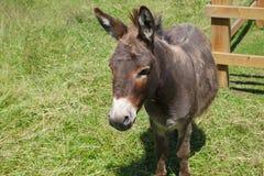 Agriculture mammifère grise d'animaux d'élevage de champ de clôture d'âne d'âne Image libre de droits