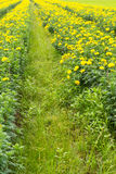 Agriculture marigolds Stock Image