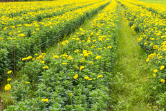 Agriculture marigolds Royalty Free Stock Image