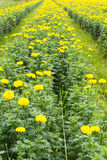 Agriculture marigolds Stock Photography