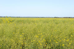 Agriculture. A maturing canola crop with a blue sky Stock Photography