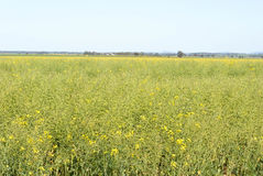 Agriculture. A maturing canola crop on a sunny day with blue sky Royalty Free Stock Images