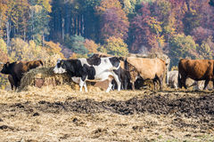 Agriculture in Mecklenburg-Vorpommern. Dairy herd with straw in autumn landscape Stock Photo