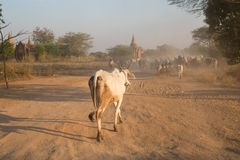Agriculture of Myanmar Stock Photos