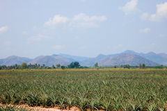 Agriculture natural landscape pineapple farm. Green growth Stock Photography