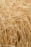 Agriculture nature background of wheat grain plant. Agriculture industry nature background of wheat grain plant Royalty Free Stock Image