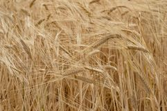 Agriculture nature background of wheat grain plant. Agriculture industry nature background of wheat grain plant. Nature texture Stock Images