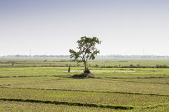 Agriculture near Son Nagar. Bihar. India. Woman carrying the food in a cultivated field near Son Nagar railway station in the state of Bihar. India Stock Images