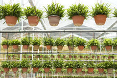 Agriculture nusery farm, with pots hanging Royalty Free Stock Image