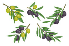 Agriculture olive branch with ripe and raw berries with bleaks. Fruit food on tem logo or organic eat badge. May be used. For herbal or vegan market banner Royalty Free Stock Image