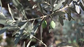 Agriculture, olive stock video footage