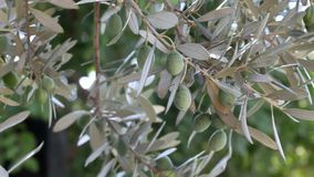 Agriculture, olive stock video