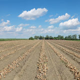 Agriculture, onion harvest Stock Photo