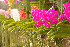 Agriculture orchid farm Stock Image