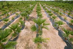 Agriculture of ornamental palm trees rows Stock Photos