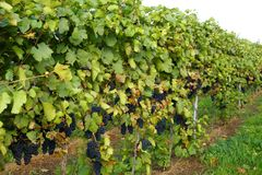 Agriculture outdoor: grapevines Stock Image