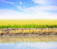Agriculture paddy field Royalty Free Stock Photos