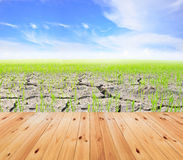 Agriculture paddy field Royalty Free Stock Photography