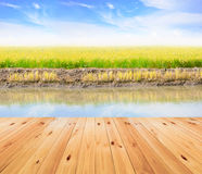 Agriculture paddy field Royalty Free Stock Image