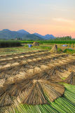 Agriculture paddy Mat farm in morning time at  MaeSai ,Chiangrai Stock Image
