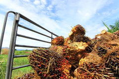 Agriculture of palm oil fruit is transportation Royalty Free Stock Image