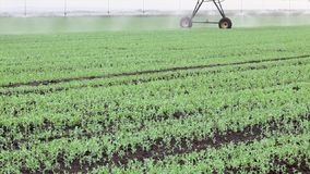 Agriculture, pea field watering stock video